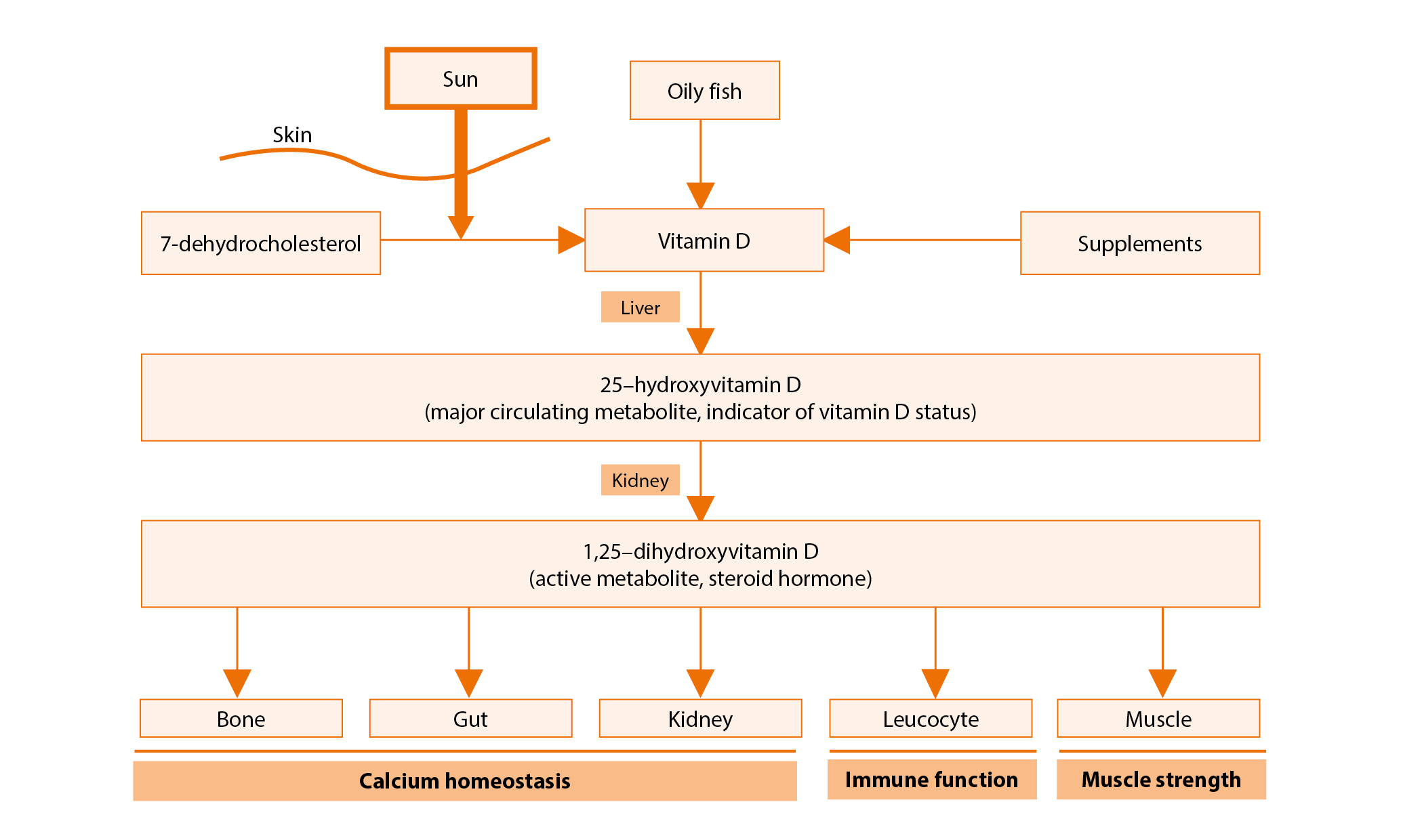 The vitamin D pathway
